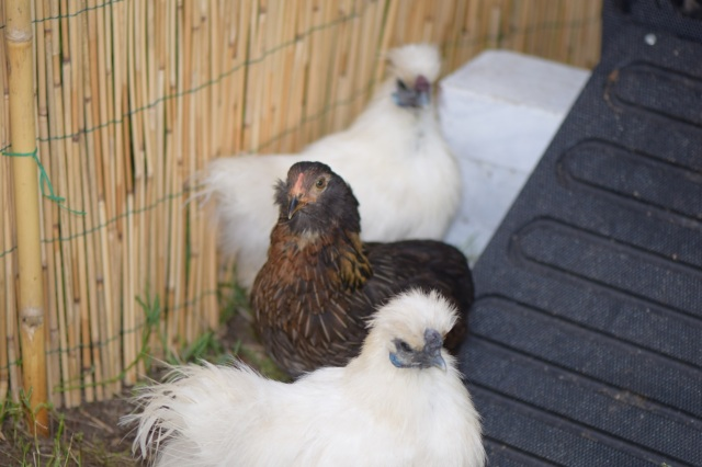 Fluffy, Brownie and Silkie
